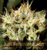 CBD Yumbolt Female 10 Marijuana Seeds